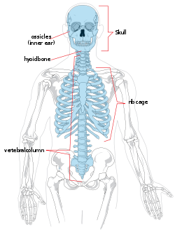 Cc cycle 3 week 2 science axial skeleton the portion of the axial skeleton the portion of the human skeleton that consists of the bones of fandeluxe Image collections