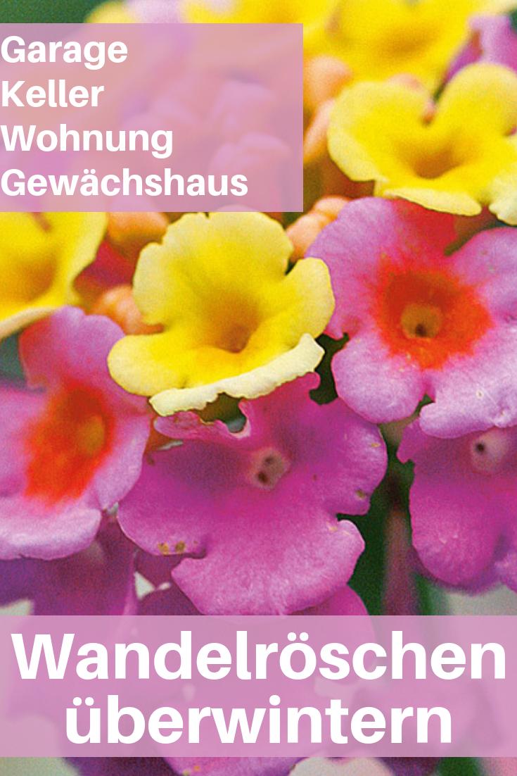 Wandelroschen Uberwintern Blumen Pinterest Garden