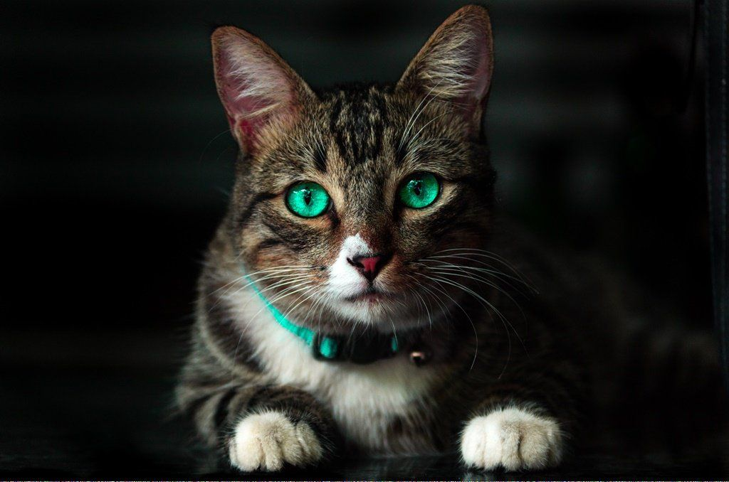 Cats Can Eat Eggs Catsllysine Key 672442335 Cats Why Do Cats Purr Cat Colors