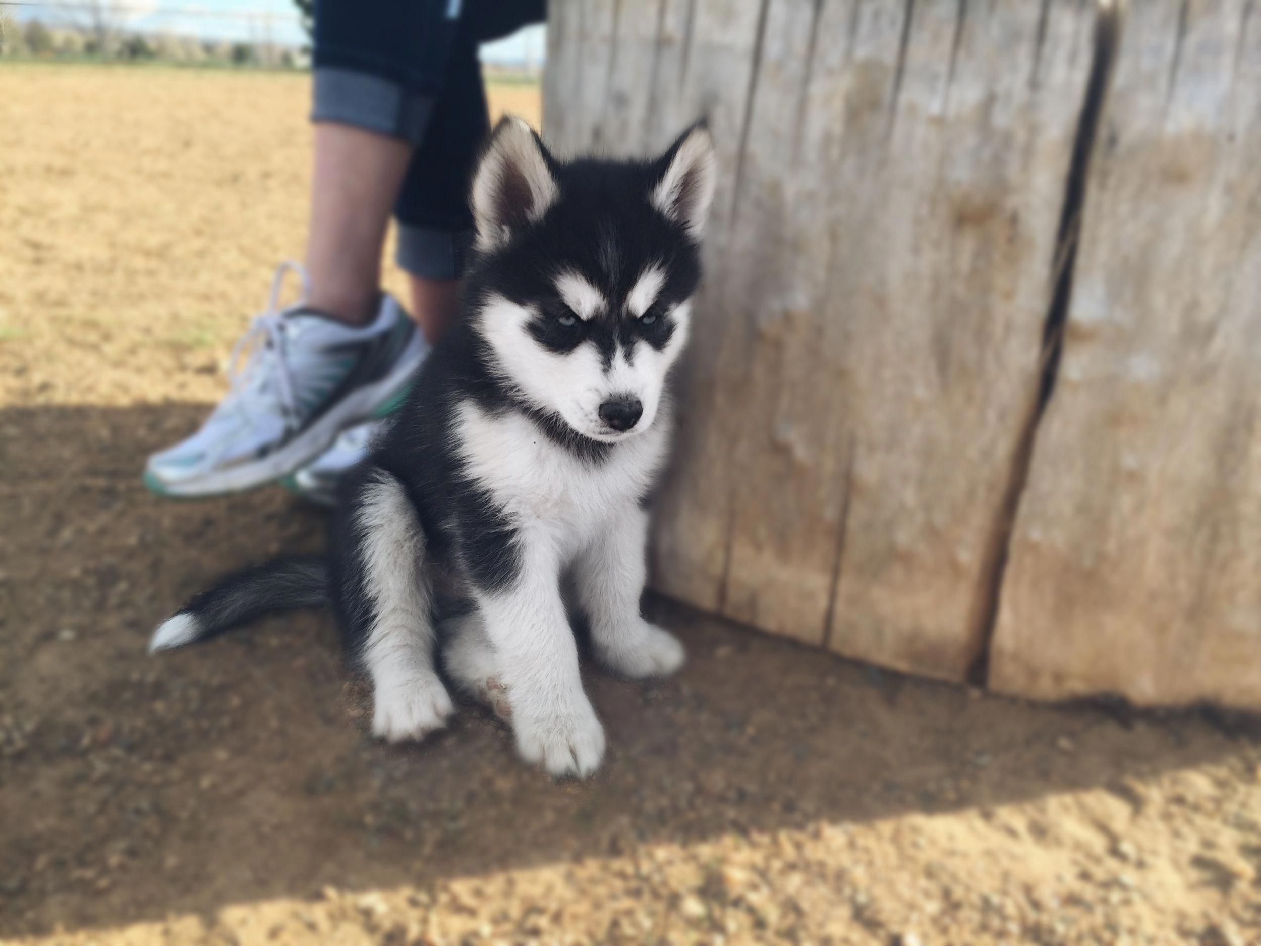 Siberian Huskies Puppies Exercise Needs Siberianhuskyluvrs