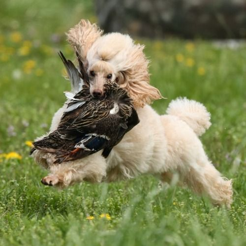 Miniature poodles finding their breed heritage (by hunting and retrieving)