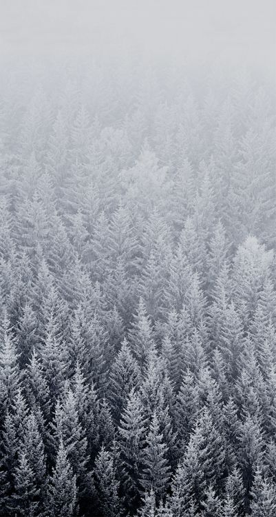 Evergreen Pine Trees Covered Snow Forest Ios Wallpapers Ipad Wallpaper Iphone Wallpaper Winter