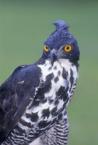 Blythe Hawk Eagle...
