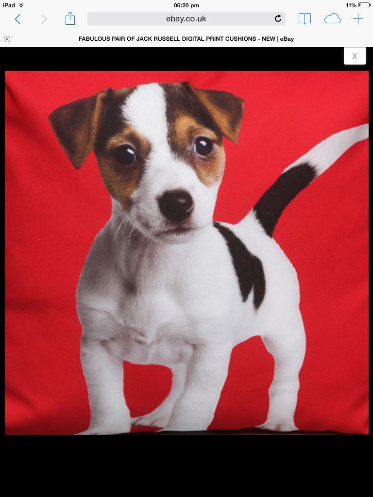 Cute j r t x   Jack russell, Boston terrier, Terrier