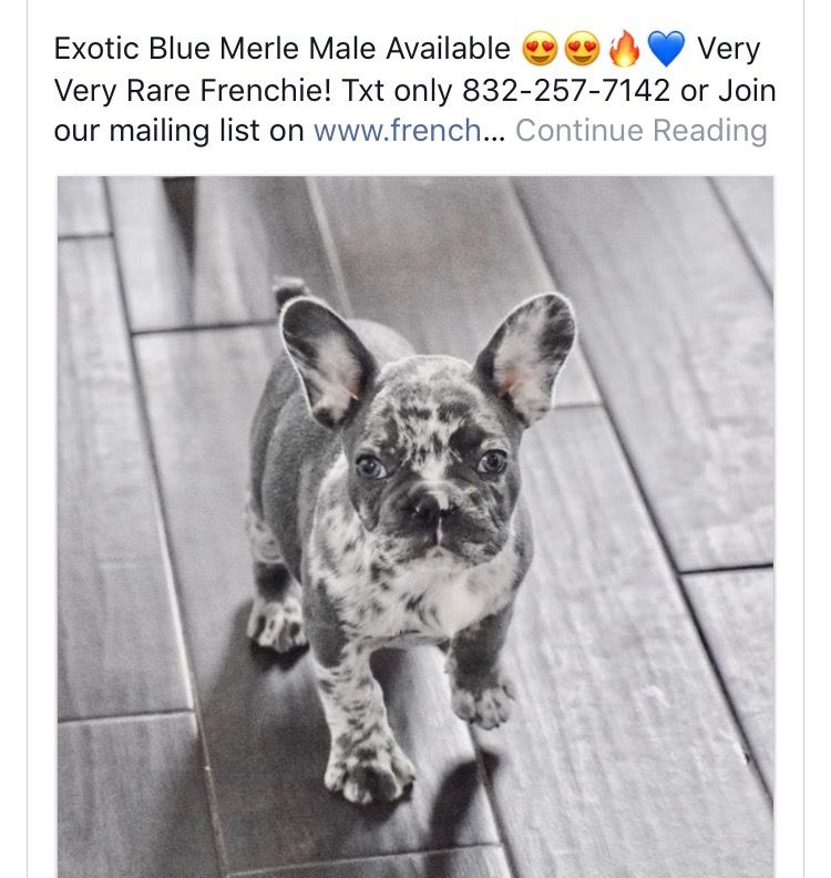 Pin By Evelyn Fimbrez On Frenchie Bulldogs Baby Dogs Bulldog