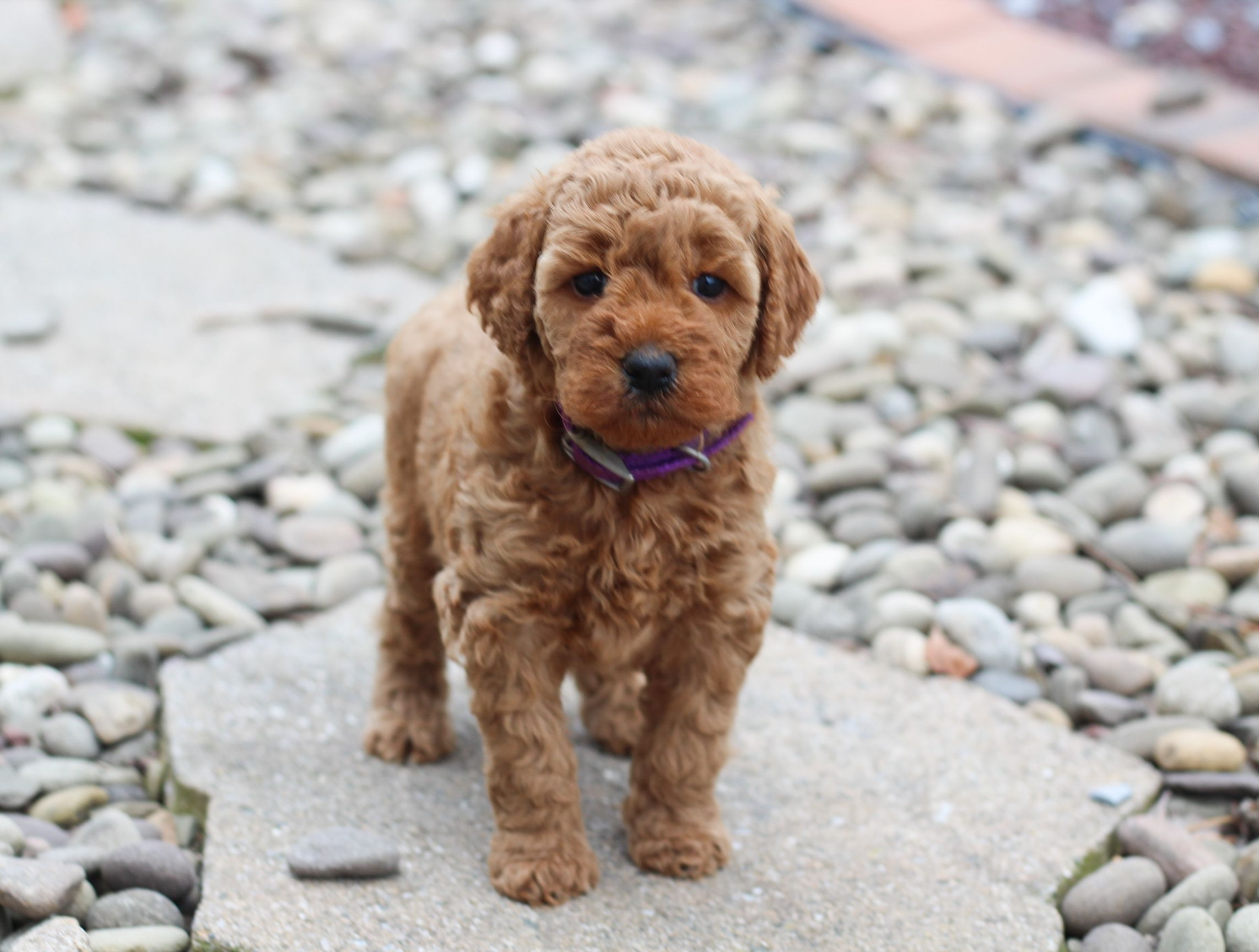 Pin By Buckeye Puppies On Cute Animals In 2020 Mini Goldendoodle Puppies Goldendoodle Puppy Goldendoodle Puppy For Sale