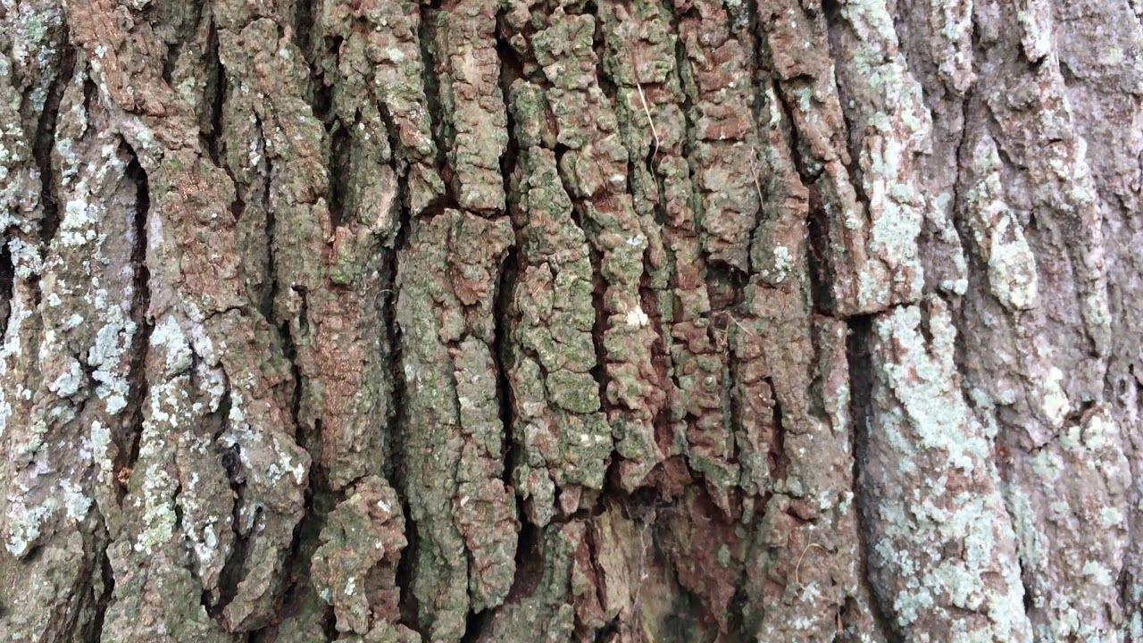 English Oak Quercus Robur Bark Close Up November 2017 Tree Bark Texture Tree Trunk Drawing Tree Textures