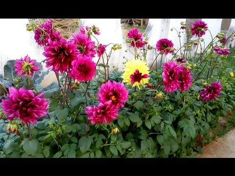 How To Grow Portulaca Or Moss Rose From Seeds Full Information From Seed To Flower Youtube Garden Calendar Growing Dahlias Plant Life Cycle