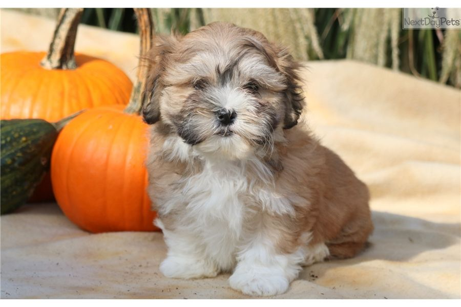 Shichon Puppy For Sale Near Lancaster Pennsylvania B9cbd709