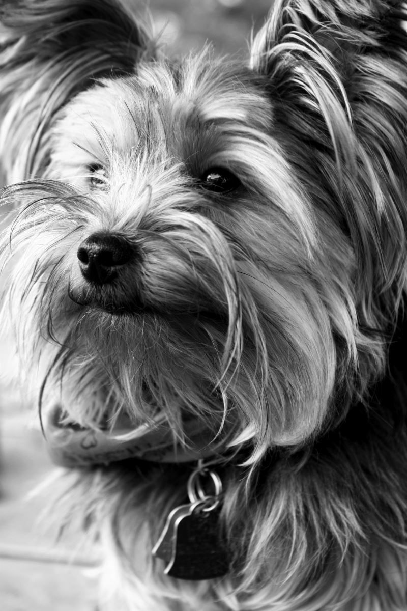 Montgomery County License Requirements Yorkie, Work from