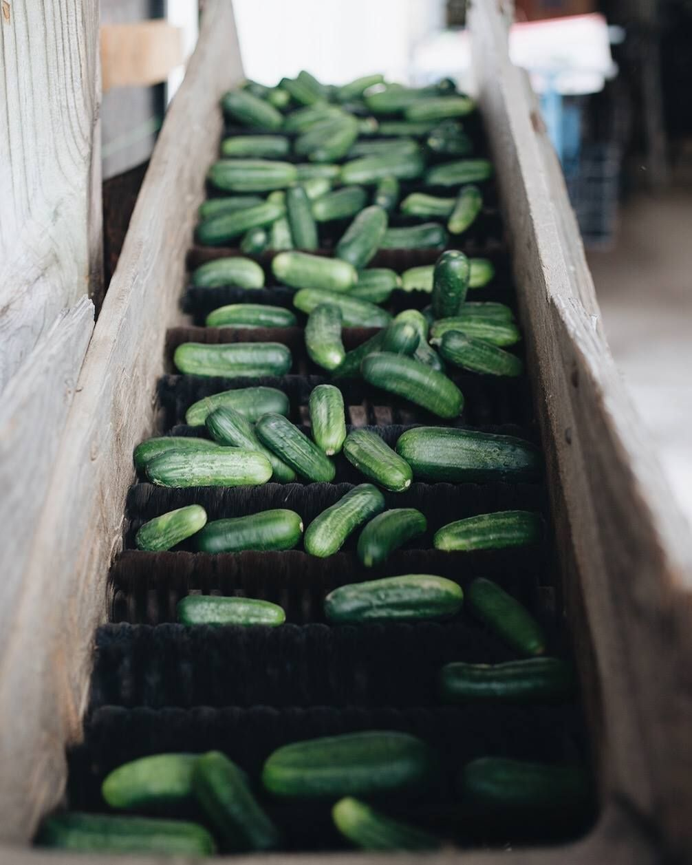 Polishing pickles right from the field stock up while theyure fresh