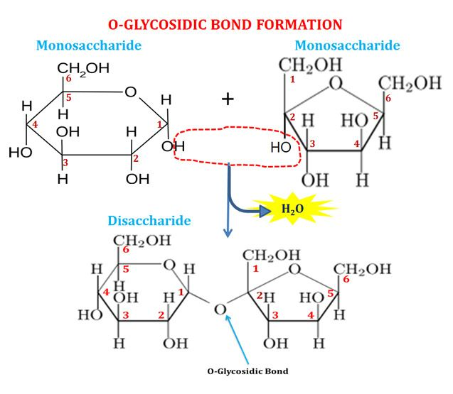 Structure of glycosidic bond biochemistry pinterest structure of glycosidic bond ccuart Image collections