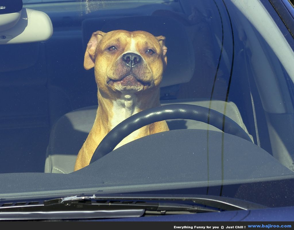 Random Collection of 25 Funny Dogs Driving Car | Staffordshire ...
