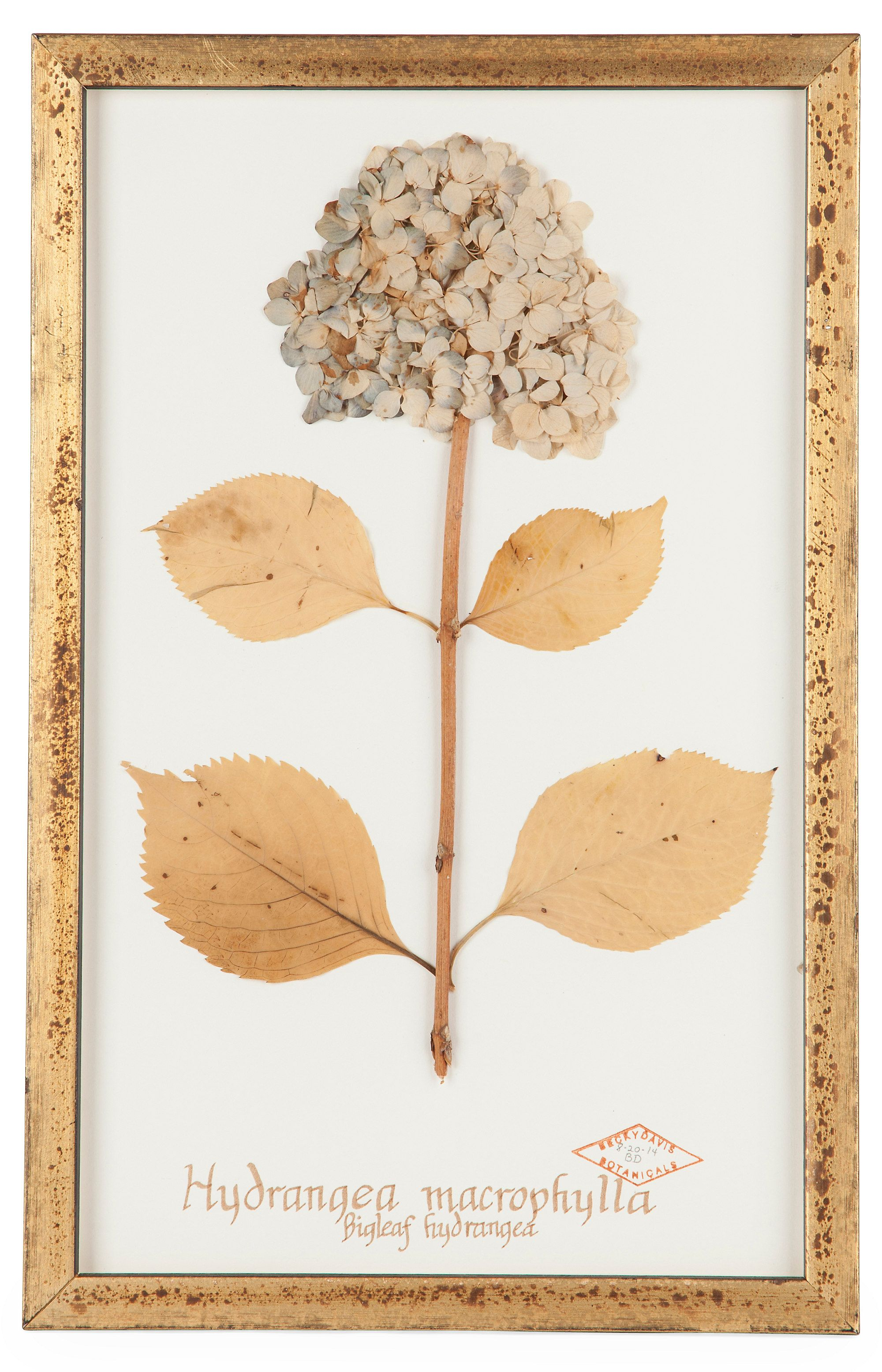 Dried and pressed hydrangea with gold-colored ink calligraphy of the Latin name (Hydrangea macrophylla) below the flower. Displayed in a distressed giltwood frame.