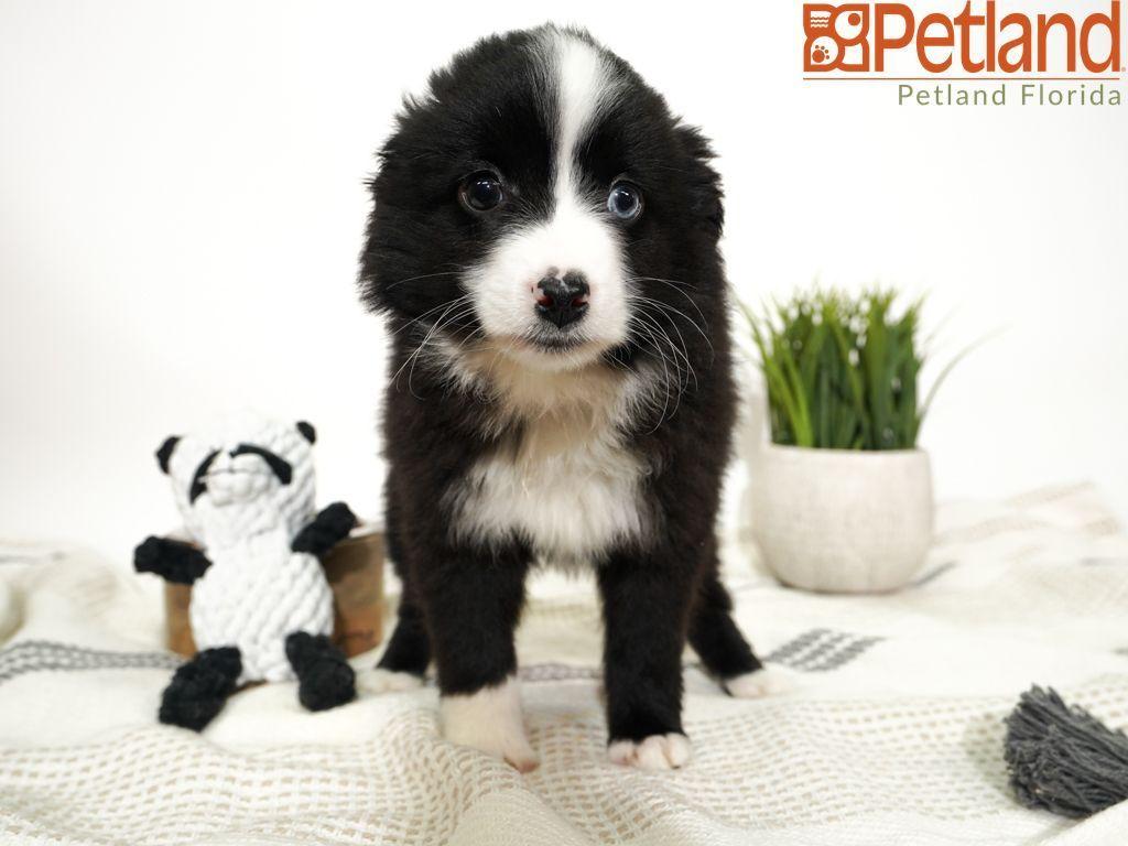 Puppies For Sale Puppies Puppies For Sale Dog Lovers