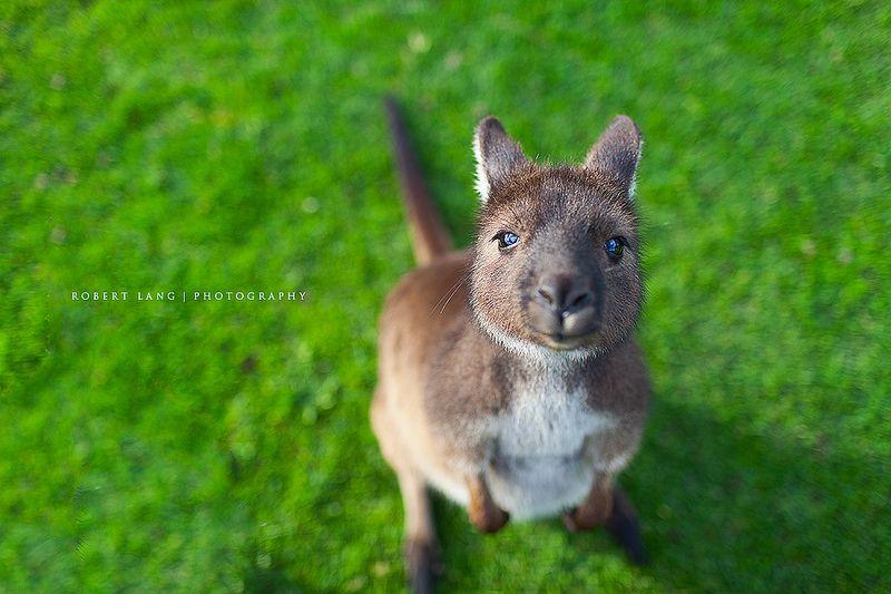 Very cute baby kangaroo portrait, Australia