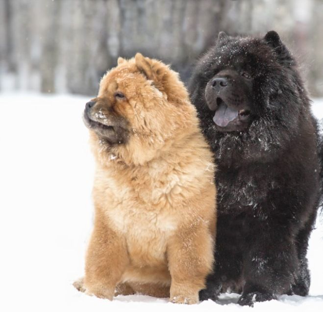 Chow Chow Dog That Licked The Edge Of The Sky