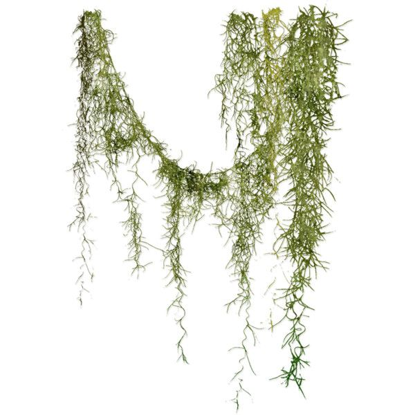 Angie S Spanish Moss Found On Polyvore Plant Painting Art Tree Photoshop Photoshop Landscape Architecture