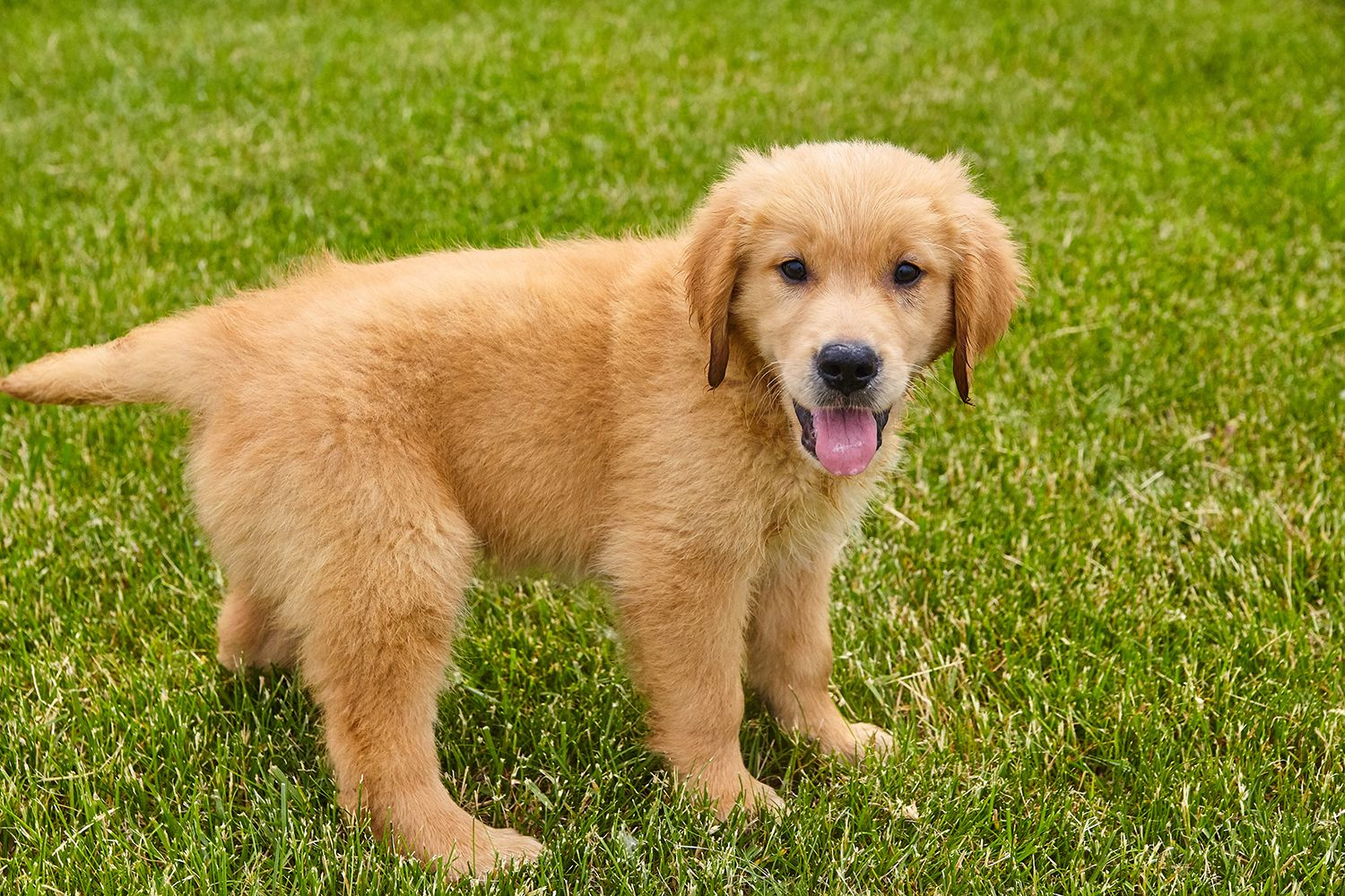 We Only Have Two Of These Beautiful Akc Golden Retriever Boys Left