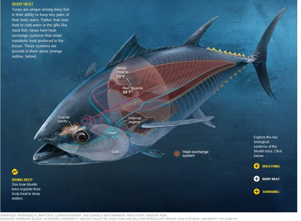 Quicksilver Tuna - Graphic: The Super Fish - The key biological ...
