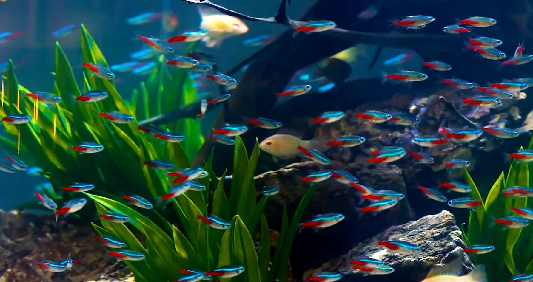 Neon Tetra Fish In Cylinder Aquarium Tetra Fish Neon Tetra Neon Tetra Fish