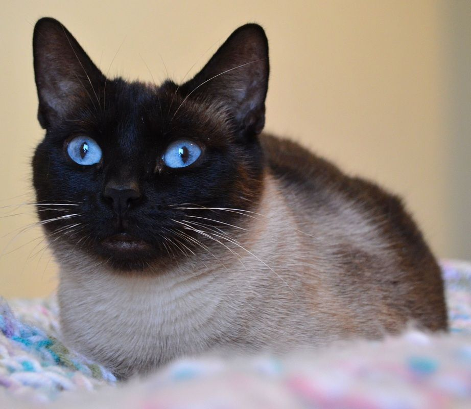 Southron Siamese Pleasers Siamese Cats Blue Point Siamese Cats For Sale Siamese Cats Facts