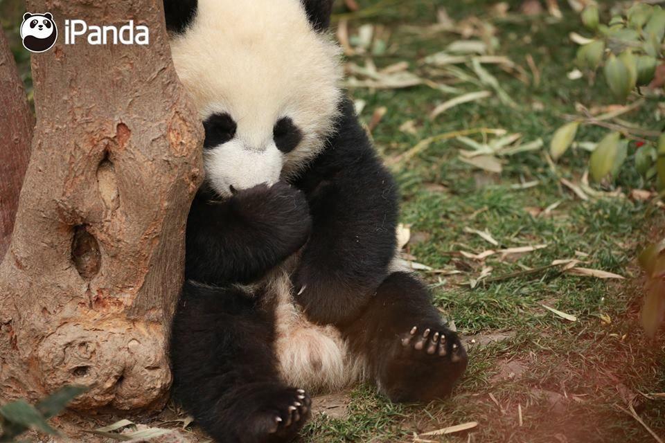 Ipanda Panda Bear Panda Baby Panda