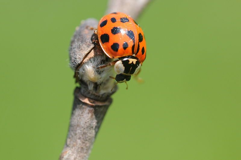 Archivo: Coccinellidae sp.jpg