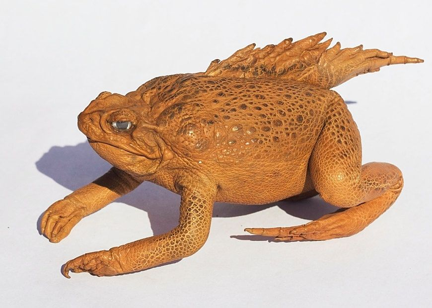 Razor Back Cane Toad leather taxidermy real toad by DEADSKIN on Etsy