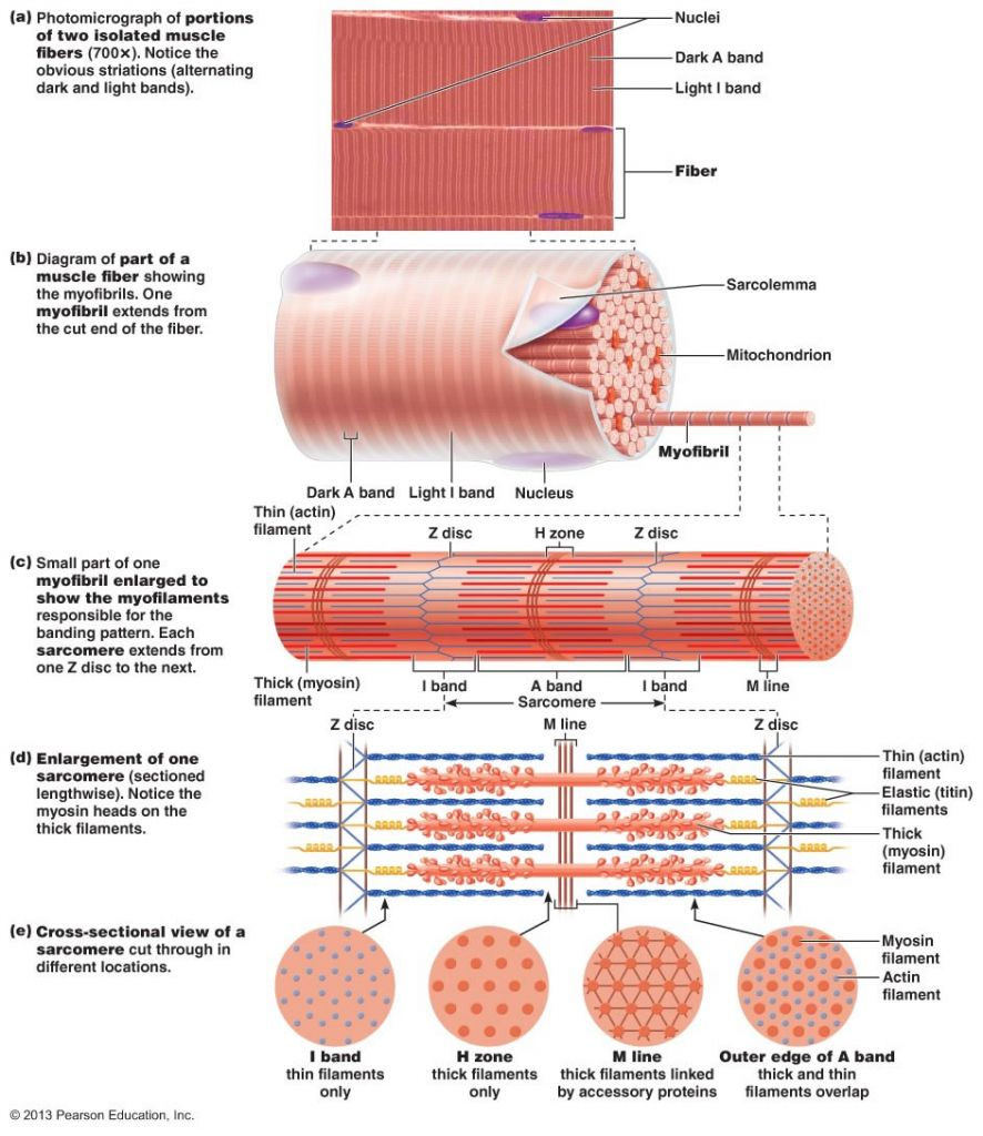 Gross Anatomy Of Skeletal Muscle See More About Gross Anatomy Of
