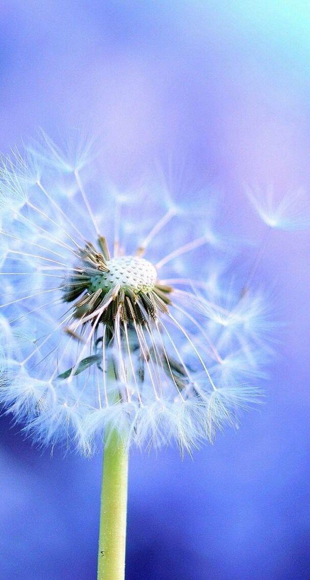 Dente De Leao Flowers Dandelion Dandelion Flower