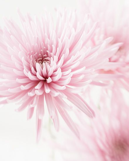 Chrysanthemum Signed Fine Art Prints Flowers Photography Flowers Chrysanthemum Flower