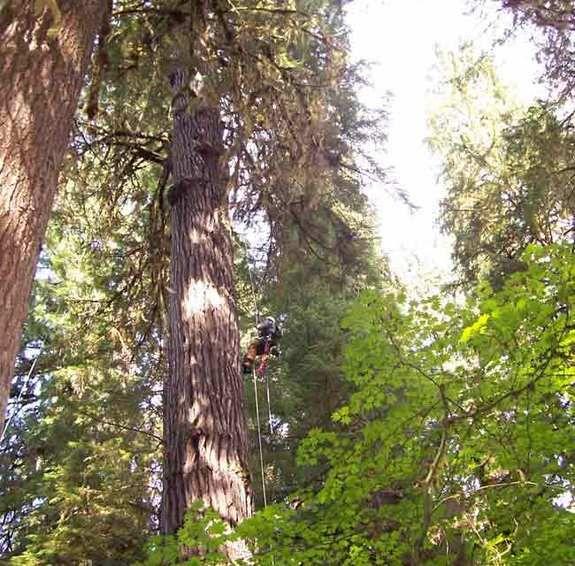 Limit Found To Tree Height Tree Douglas Fir Conifers