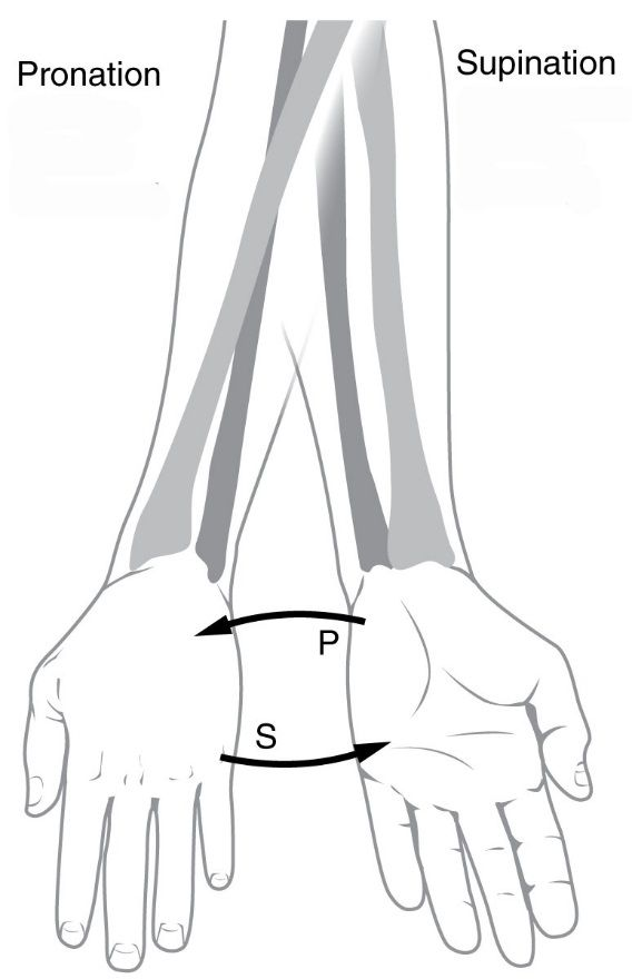 Pronation And Supination Anatomical Terms Of Motion Wikipedia