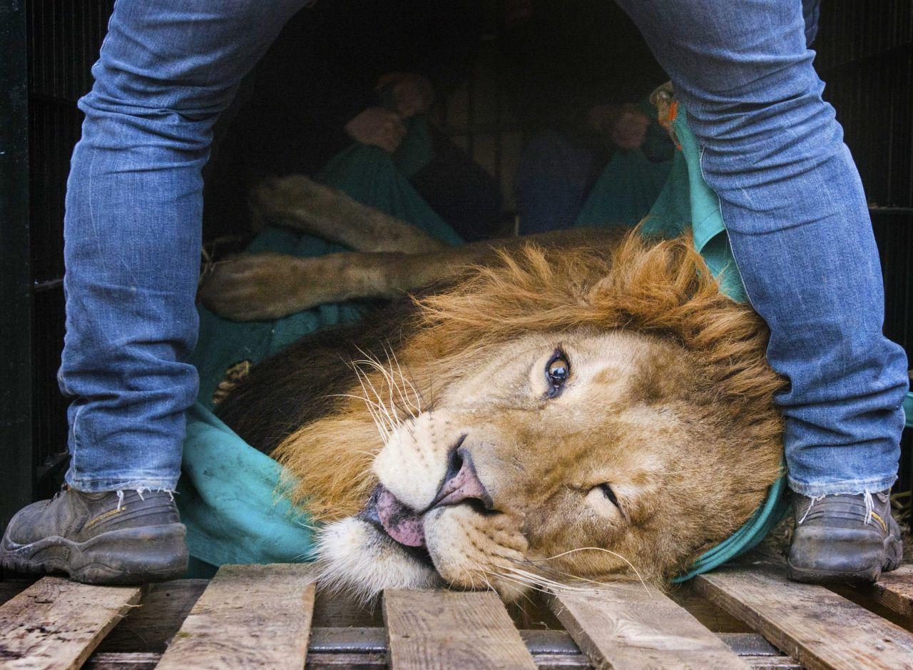 Cuidadores del zoo de Burgers en Arnhem, Holanda preparan a un león sedado para ser trasladado a otro zoo. El león Zeus, de cinco años, será llevado al zoológico de Sosto en Hungría. (EFE) - See more at: http://hd.clarin.com/tagged/actualidad/page/3#sthash.8GXMVFKv.dpuf