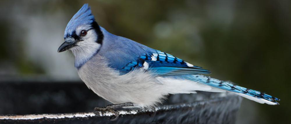 15 Fun Interesting Facts About Blue Jays 2021 Bird Watching Hq Blue Jay Blue Jay Bird Blue Jays