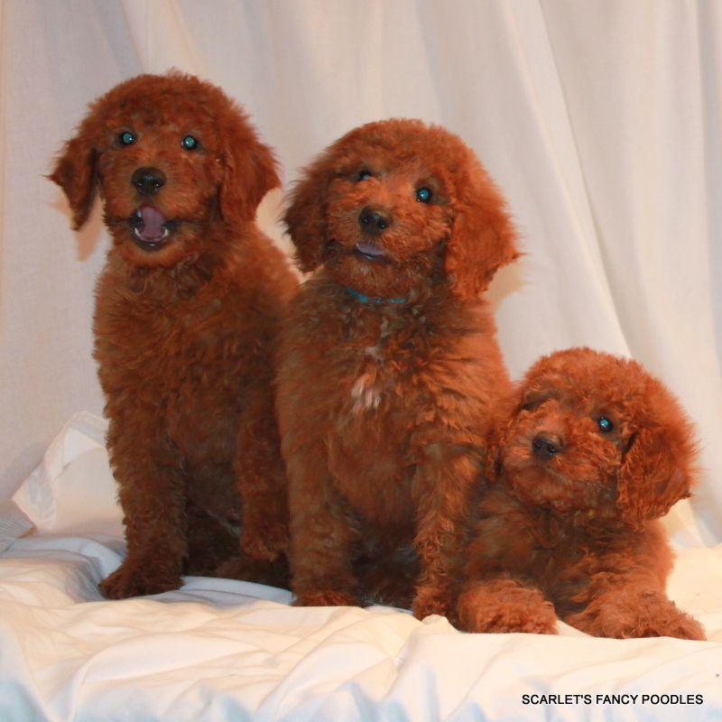 Moyen Boys Akc Poodles Red Moyenklein Poodles Scarlets