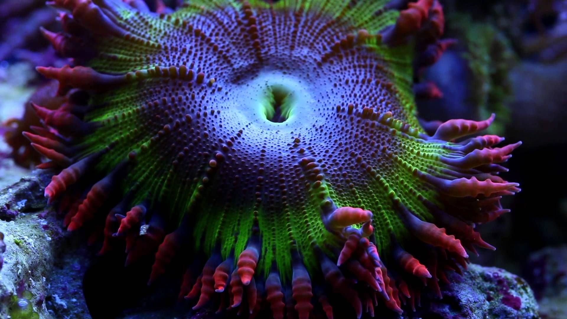 Rock Flower Anemones This Video Is All About Rock Flower Anemones Unlike Most Anemones Common In This Hobby Such As Bubbl Anemone Sea Anemone Marine Aquarium