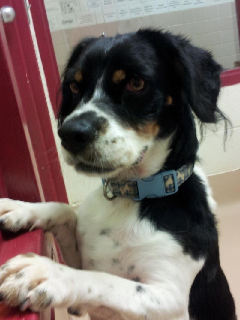 Adopt Mason On Cocker Spaniel Mix Beagle Cute Dog Photos