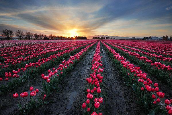 Tulip Field At Dawn By Piriya Photography In 2020 Beautiful Landscape Photography Landscape Photography Beautiful Landscapes