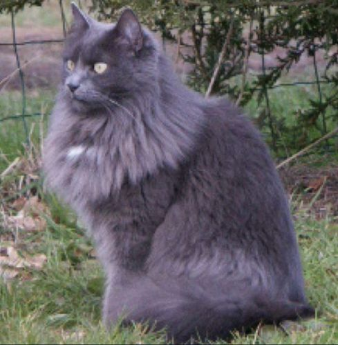 Grey Cat Grey Cats Nebelung Cat Long Haired Cats
