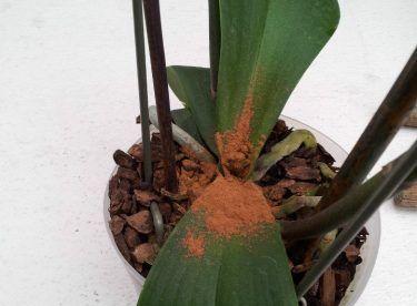 Solan Bitkiler İçin Tarçınlı Karışım #balkonblumen
