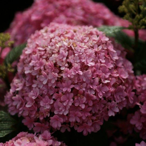 foto de Hortensia Hydrangea macrophylla Umbrella Hydrangeas