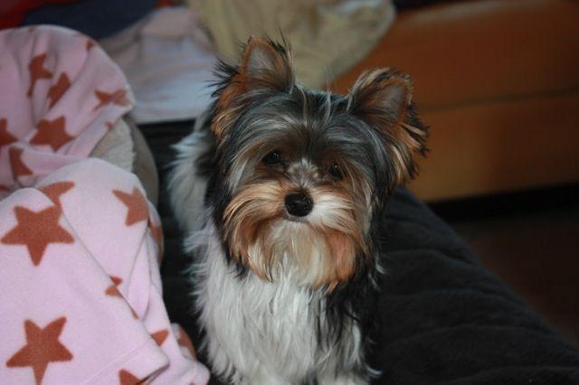 Yorkie Tri Colored Biewer Cute Puppies Yorkie Dog Grooming