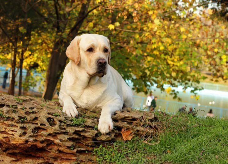 This beautiful yellow Lab is tuckered out from a long walk.  Click on this image for more beautiful #dog pictures