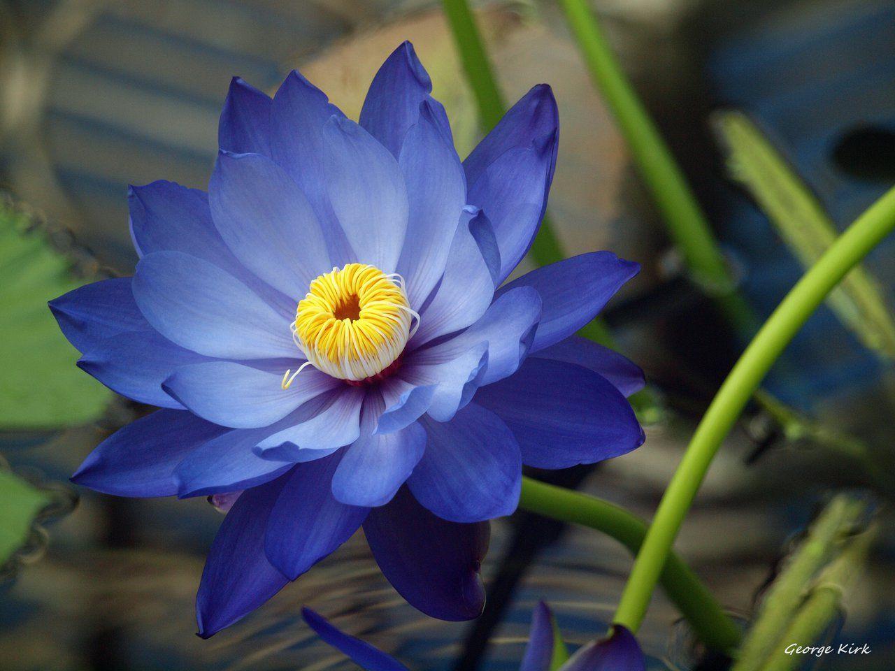Norse nature spirit blue lotus by george kirk smell life norse nature spirit blue lotus by george kirk buycottarizona Choice Image
