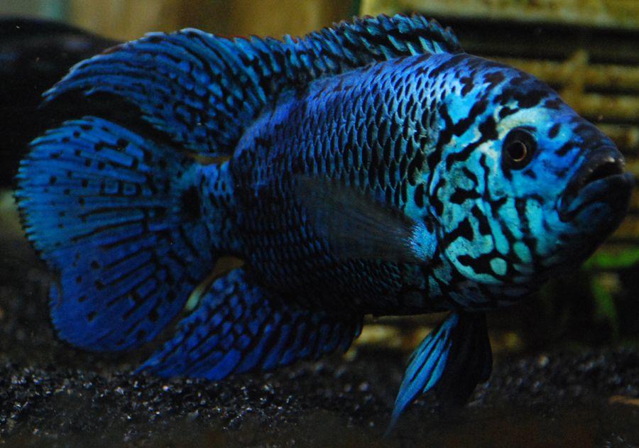 Blue Jack Dempsey Cichlid. | Fish! | Pinterest | Fish ...