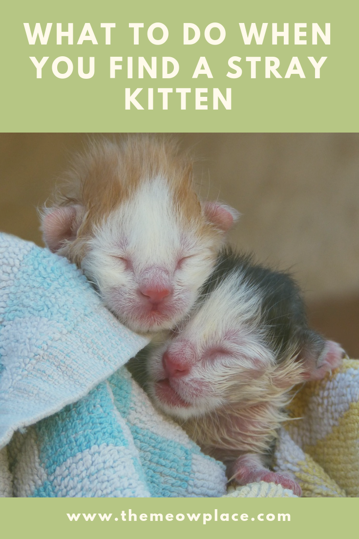 What To Do When You Find A Stray Kitten The Meow Place Newborn Kittens Kitten Care Baby Kittens