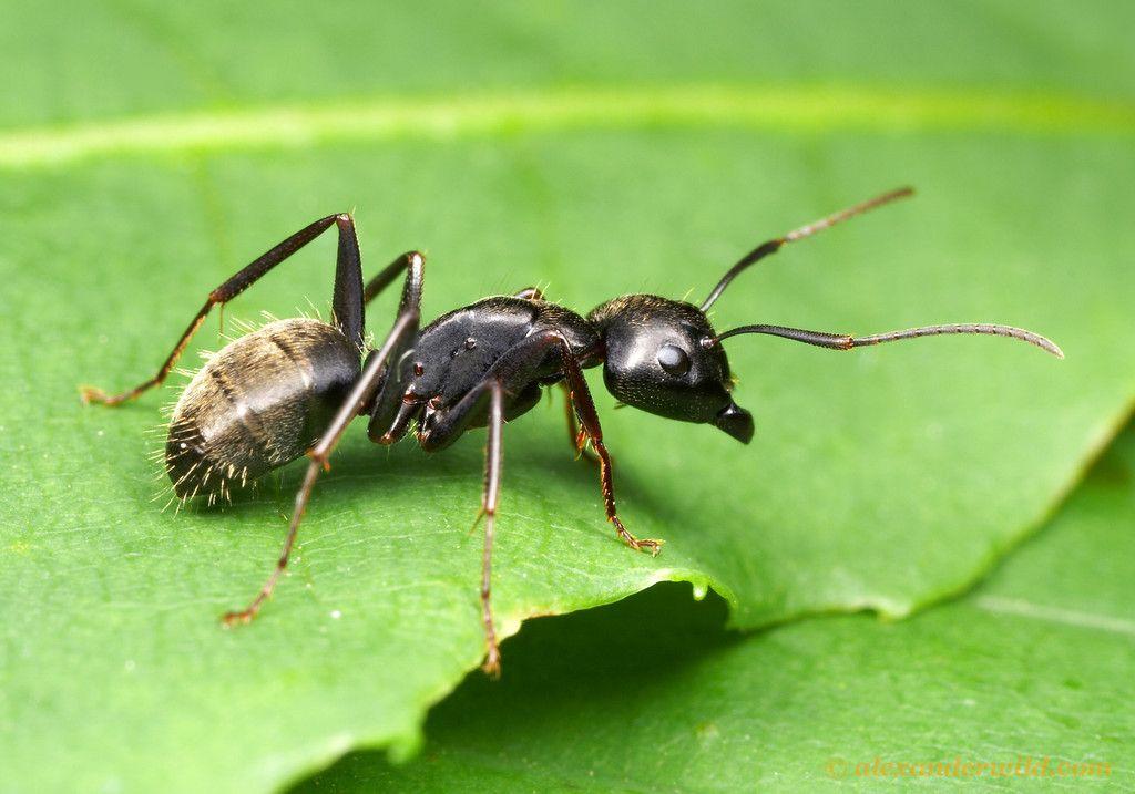 Camponotus Pennsylvanicus The Eastern Black Carpenter Ant