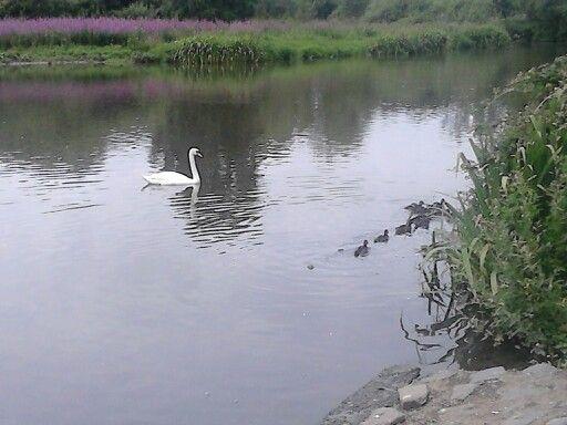 Swan so graceful